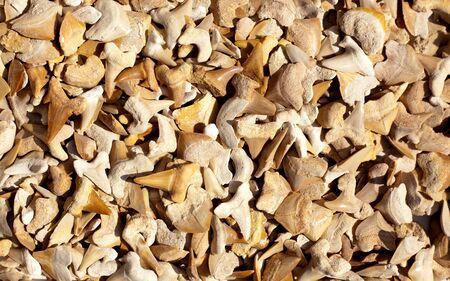 shark teeth: f�siles de dientes de tibur�n y reales en una colecci�n
