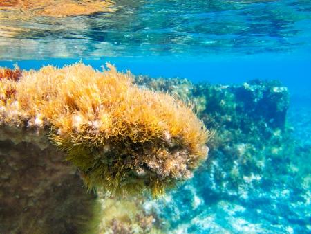 alga marina: Ibiza Formentera bajo el agua anémona paisaje marino en oro y turquesas