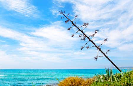 formentera: Agave flower like Mediterranean scenery in Formentera Balearic islands Migjorn