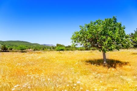 feigenbaum: Ibiza Landwirtschaft im Mittelmeerraum mit Feigenbaum und goldenen Weizenfeldern
