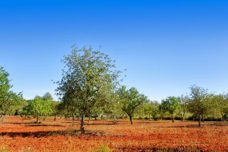 feuille de vigne: L'agriculture dans l'île d'Ibiza mixte d'amande de figuiers et de caroubiers arbre