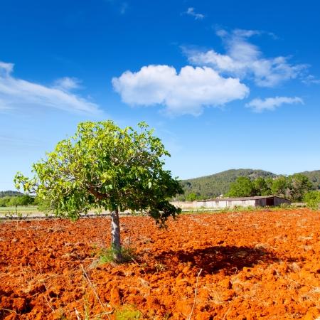 feuille de vigne: Ibiza agriculture méditerranéenne avec figuier sur le sol d'argile rouge Banque d'images