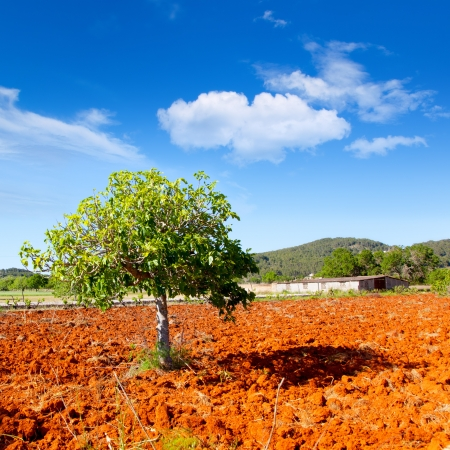fig leaf: Ibiza mediterranean agriculture with fig tree on red clay soil