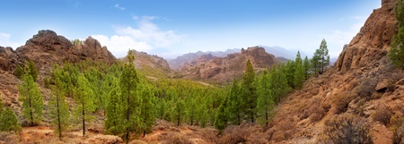 canaria: Gran Canaria Tejeda La culata mountains panoramic with pines in canary Islands