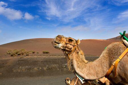 suelo arenoso: Camel en Lanzarote en Timanfaya Montañas del Fuego en Islas Canarias Foto de archivo