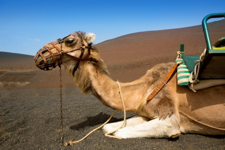 Camel in Lanzarote in timanfaya fire mountains at Canary Islands Stock Photo - 15272619