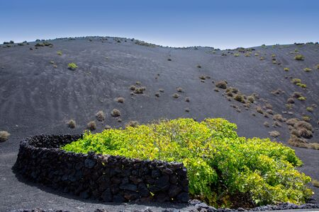canarian: Lanzarote La Geria vineyard on black volcanic soil in Canary Islands