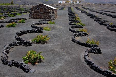 lanzarote: Lanzarote La Geria vineyard on black volcanic soil in Canary Islands