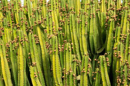 plants species: Cactus da texture pattern Lanzarote nelle Isole Canarie Archivio Fotografico