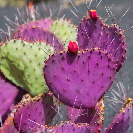 lanzarote: Lanzarote Guatiza cactus garden Cactaceae Opuntia Macrocentra pink from Mexico