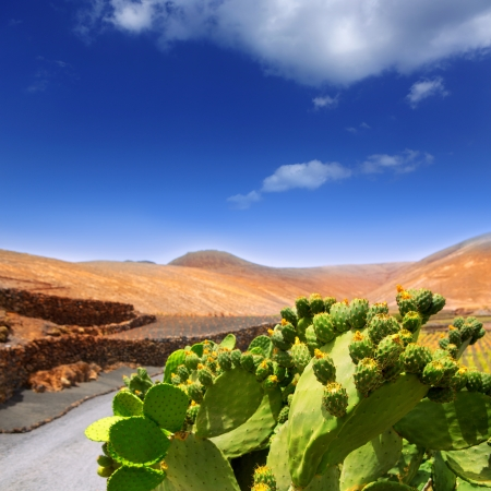 volcanic stones: Cactus Nopal in Lanzarote Orzola with mountains at Canary Islands
