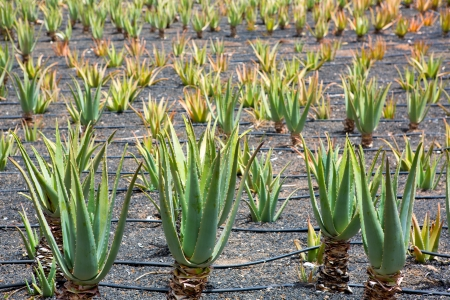 canarian: Aloe Vera fields in Lanzarote Orzola at Canary islands Stock Photo