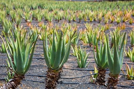 Aloe Vera fields in Lanzarote Orzola at Canary islands photo