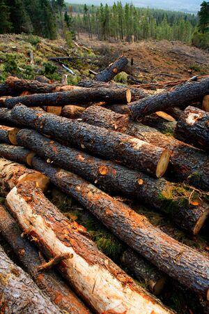 felled: pine tree felled for timber industry in Orotava Tenerife