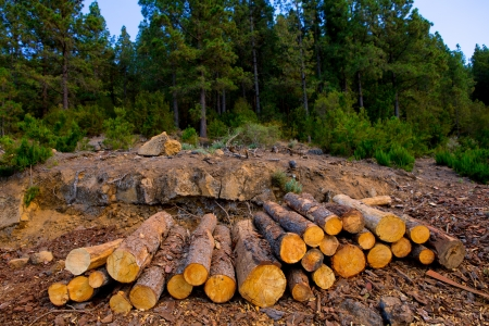 woodpile: pine tree felled for timber industry in Orotava Tenerife