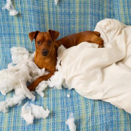 Frech verspielten Welpen Hund nach beißt ein Kissen harter Arbeit müde