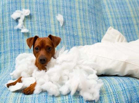 coussins: vilain petit chien enjou� apr�s avoir mordu un oreiller fatigu� d'un travail acharn� Banque d'images