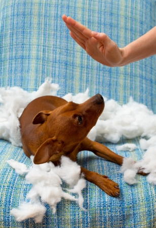dido: dog naughty puppy being punished after biting a pillow brown mini pinscher Stock Photo
