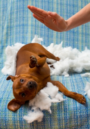 punished: dog naughty puppy being punished after biting a pillow brown mini pinscher Stock Photo