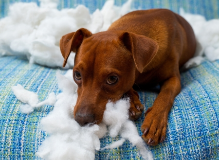 destruction: naughty playful puppy dog after biting a pillow tired of hard work