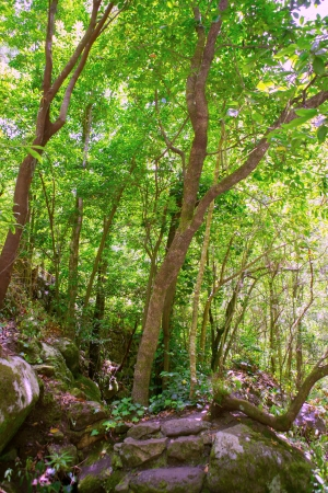 canarian: Los Tilos Laurisilva in La Palma laurel forest at Canary Islands
