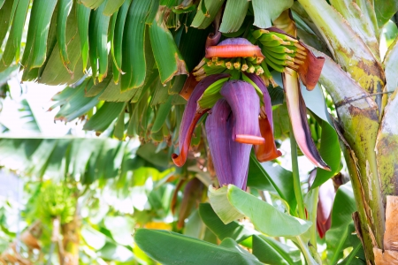 canary islands: Canarian Banana plantation Platano in La Palma Canary Islands Stock Photo