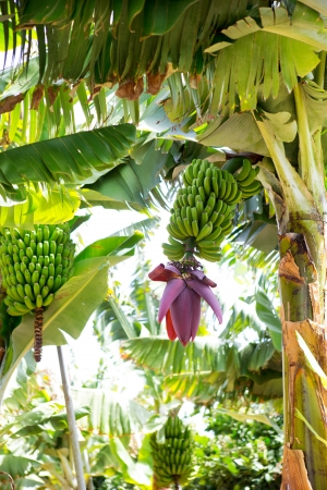 canarian: Canarian Banana plantation Platano in La Palma Canary Islands Stock Photo