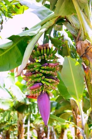 Canarian Banana plantation Platano in La Palma Canary Islands Stock Photo