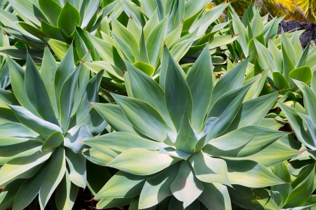 cactus flower: Agave Attenuata cactus plant from Canary Islands in La Palma