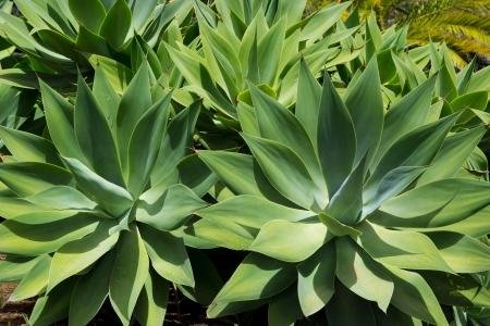 palma: Agave Attenuata cactus plant from Canary Islands in La Palma