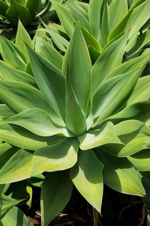 plantas del desierto: Agave attenuata cactus planta de las Islas Canarias en La Palma