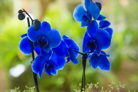 exotic plant: Blue phalaenopsis orchid flowers with green blur garden background