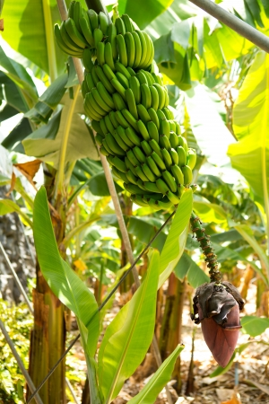 la: Kanarischen Bananenplantage Platano in La Palma, Kanarische Inseln