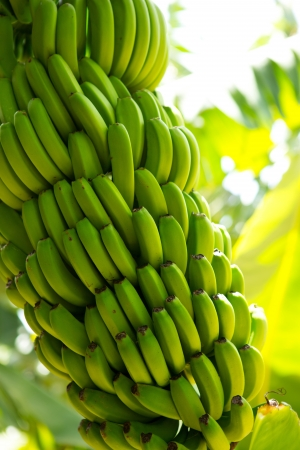 Canarian Banana plantation Platano in La Palma Canary Islands Stock Photo