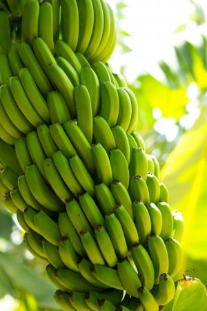 banana tree: Canarian Banana plantation Platano in La Palma Canary Islands Stock Photo