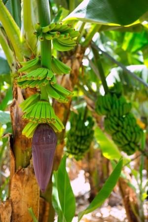 canarian: Canarian Banana plantation Platano in La Palma Canary Islands Stock Photo