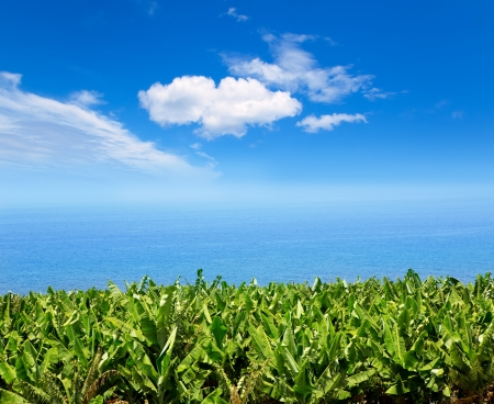 canary: Canarian Banana plantation near the ocean in La Palma Canary Islands