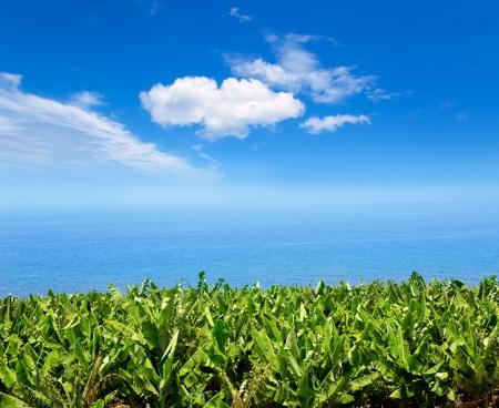 canarian: Canarian Banana plantation near the ocean in La Palma Canary Islands