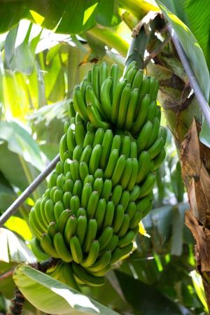 palma: Canarian Banana plantation Platano in La Palma Canary Islands Stock Photo