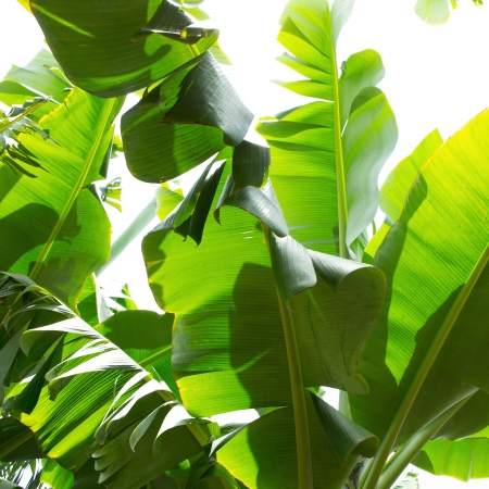 Canarian Banana plantation Platano in La Palma Canary Islands Stock Photo - 15428987