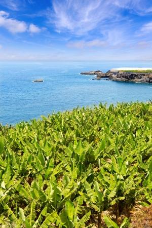 Canarian Banana plantation near the ocean in La Palma Canary Islands