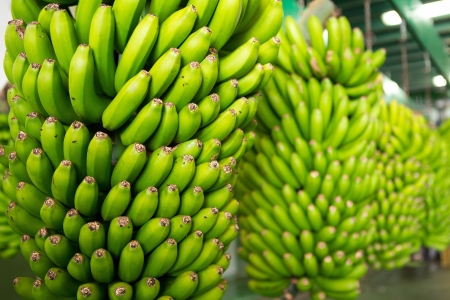 canarian: Canarian Banana Platano in La Palma canary Islands Stock Photo