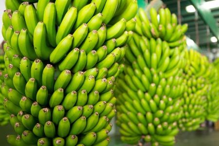 banana tree: Canarian Banana Platano in La Palma canary Islands Stock Photo
