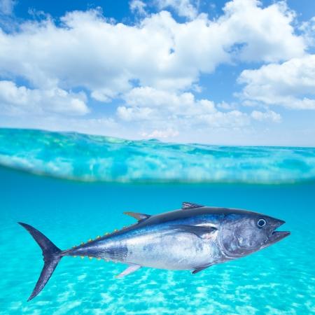 fins: Bluefin tuna Thunnus thynnus swimming underwater photo mount