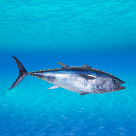 tuna: Bluefin tuna Thunnus thynnus swimming underwater photo mount