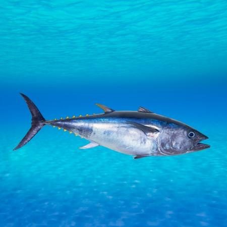 atún: De atún rojo Thunnus thynnus natación submarina montaje foto Foto de archivo