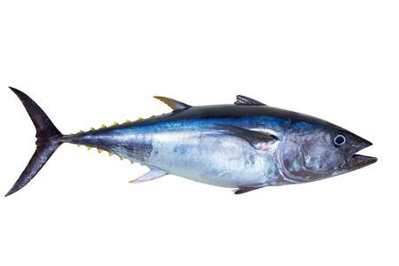 El atún rojo muy fresco aislado en blanco Thunnus thynnus