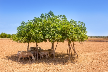 formentera: flock of sheep under fig tree shadow on summer hot day in forentera