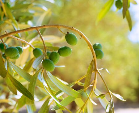 Detail of olive tree with green olives fruit in Mediterranean spain photo