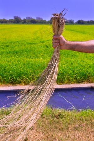 farmer man work holding dried weed cleaning rice fields and irrigation channel photo
